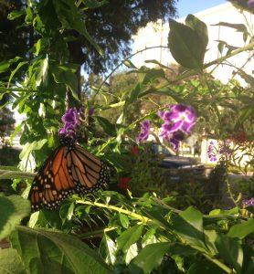 Monarch on duranta