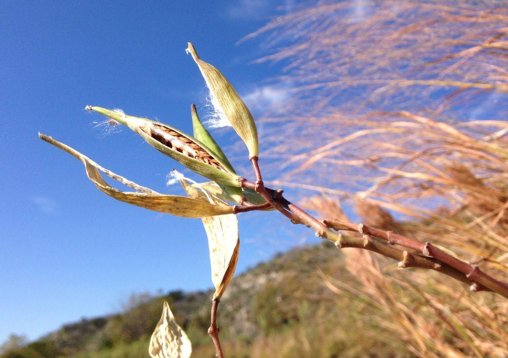Swamp milkweed seed pod