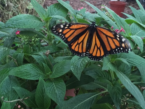 Late season UTSA Monarch