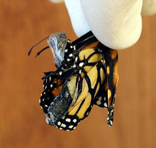 deformed Monarch OE