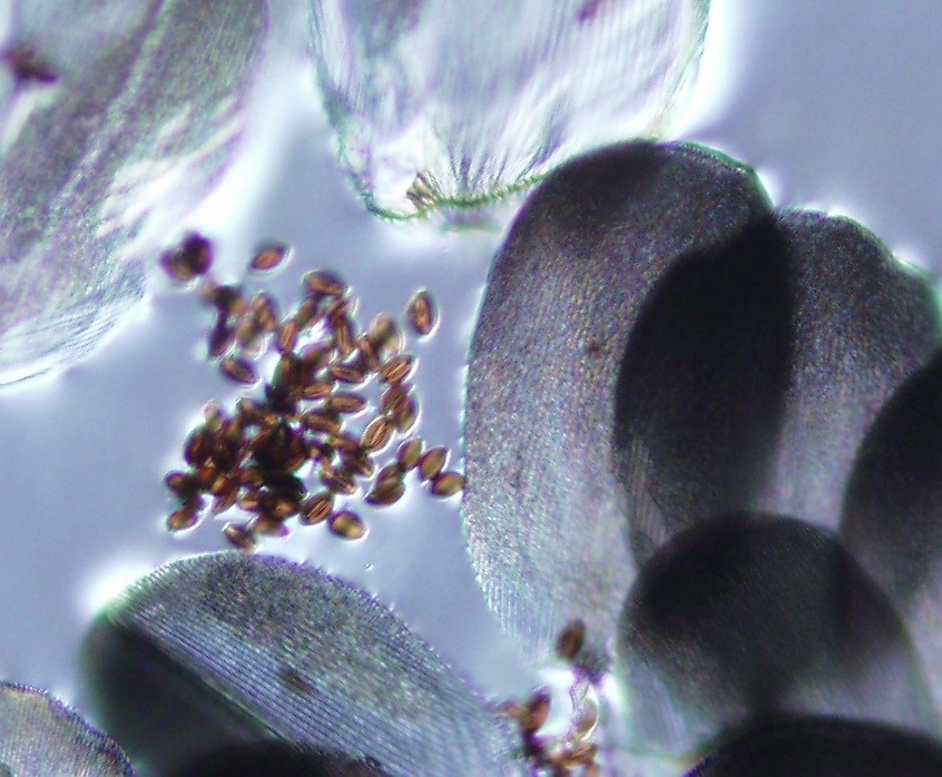 OE spores transfer through physical contact or consumption of milkweed leaves. PHoto courtesy AFB
