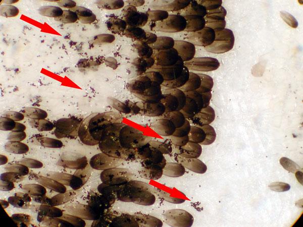 OE spores