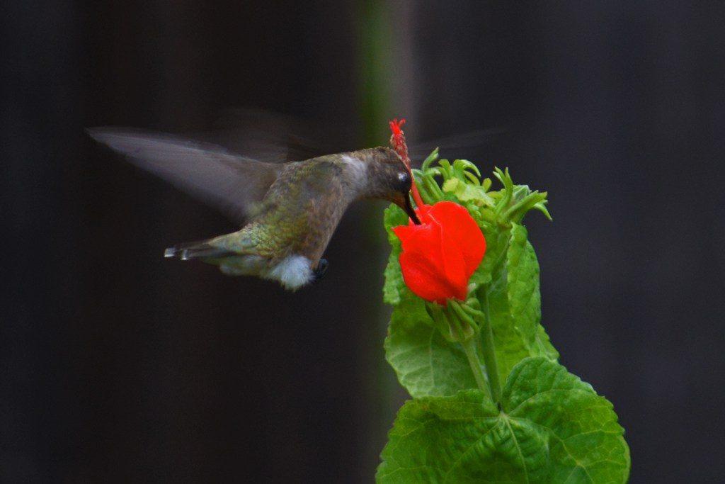 Hummingbird on Turk's cap