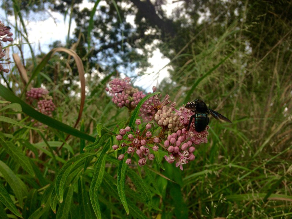 Everyone loves Swamp milkweed. Here, aphids and a glamourous blue bumblebee pour over the blooms. Photo by Monika Maeckle