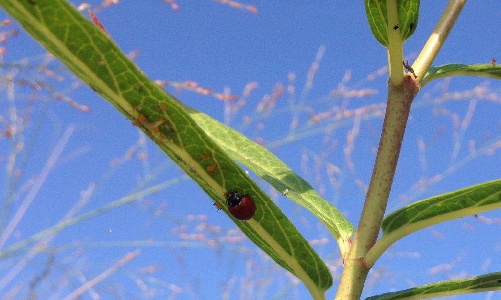 lady bug aphids