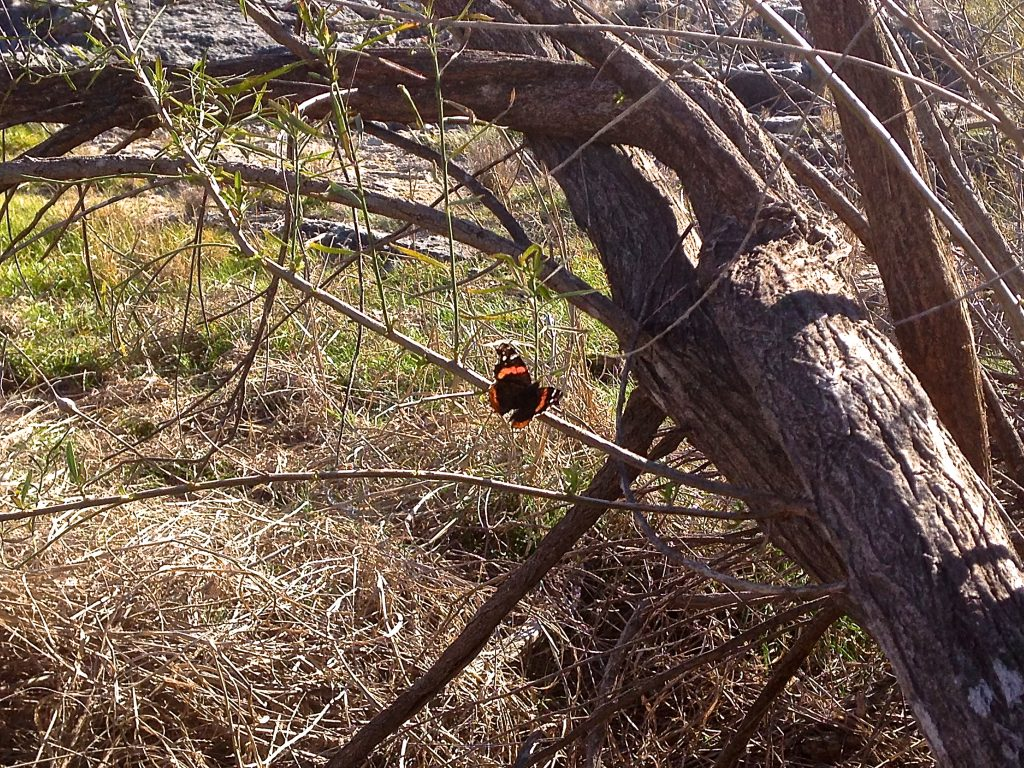 Red Admiral on tree