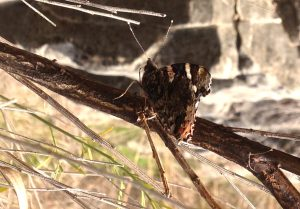 Red Admiral wings closed