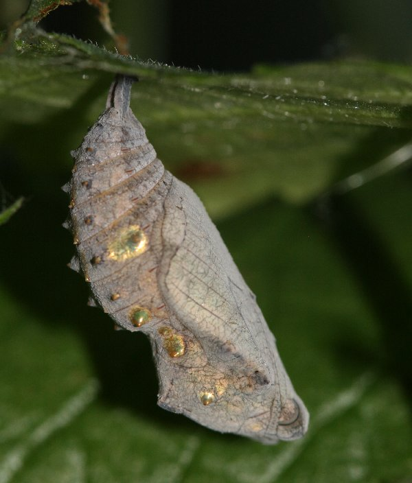 Red admiral chrysalis