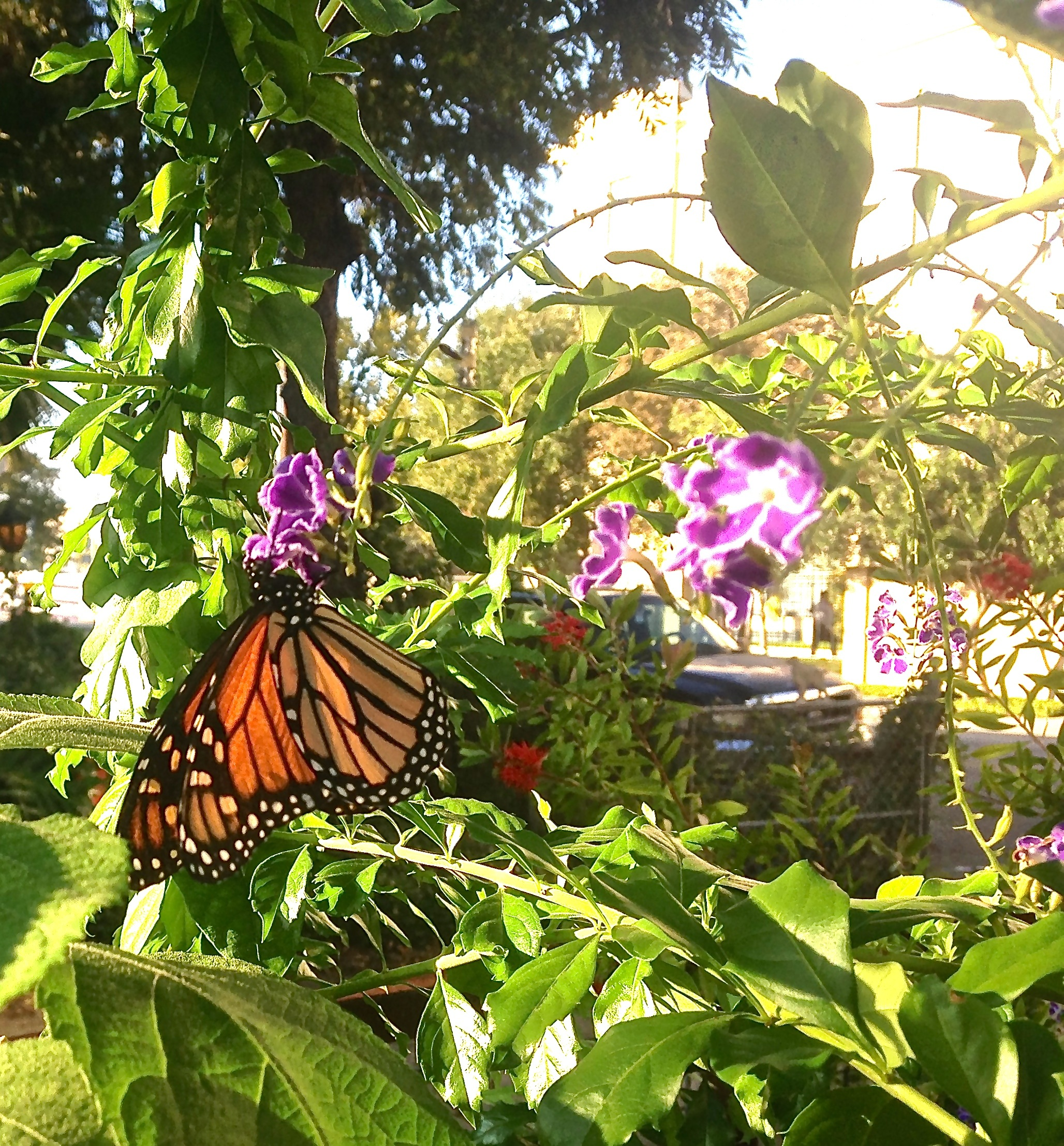 Monarch on duranta