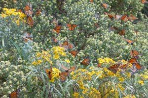 Monarchs Michoacán 2012