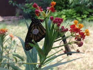 Two tagged Monarchs