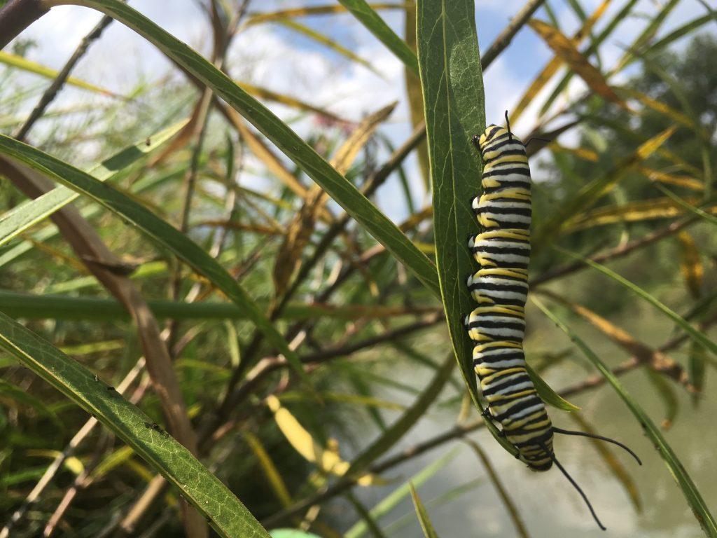 Monarch cat on swamp