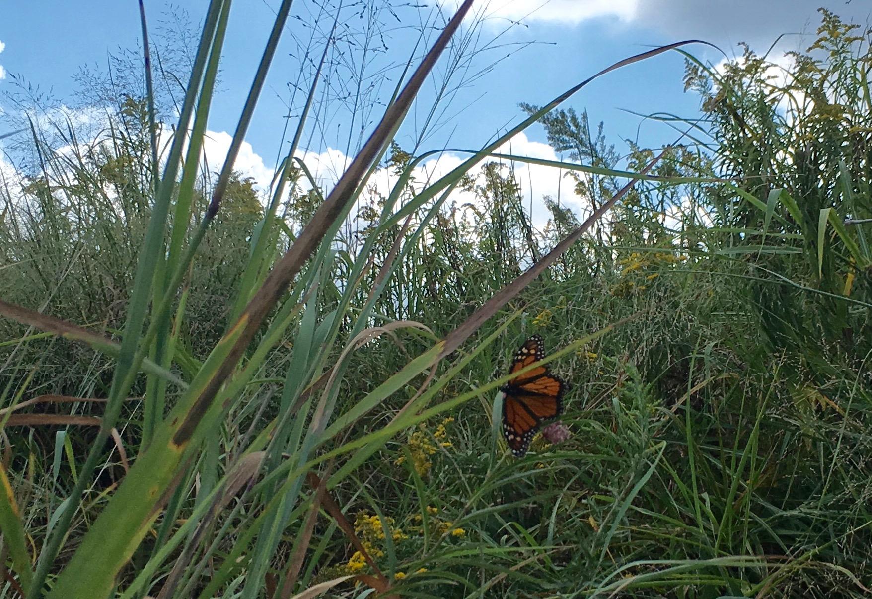male monarch swamp