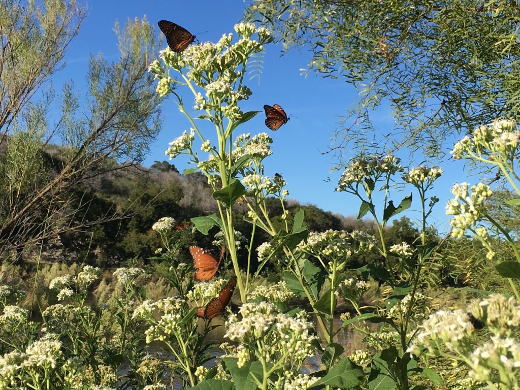 Queens on Frostweed, Llano River
