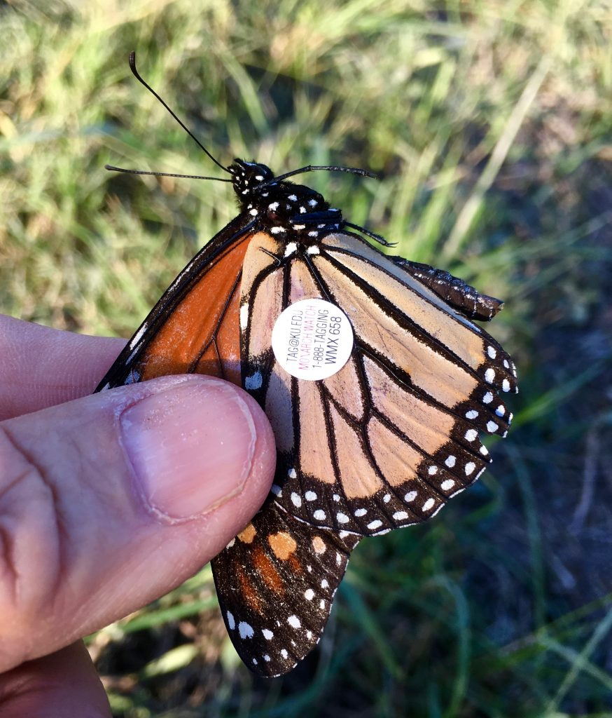 tagged recovered Monarch