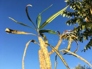 monarch egg drowned milkweed