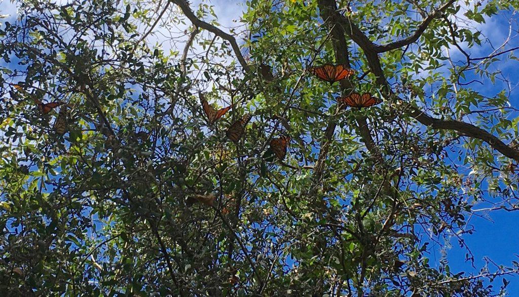 Monarchs pecan trees wind