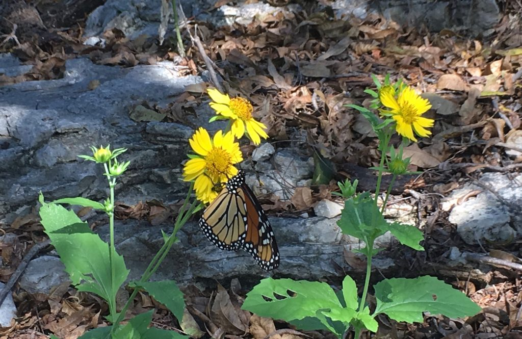 Coupon Daisy pecan tree Monarch butterfly