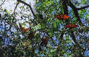 late season Monarchs