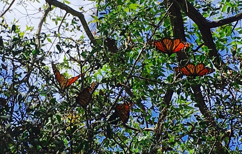 late season Monarchs