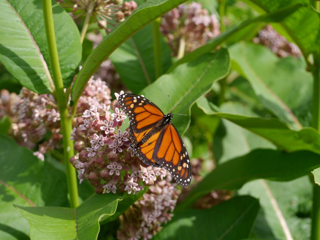Monarch butterfly migration texasbutterflyranch monarch butterflies will only lay their eggs on the toxic milkweed asclepias species courtesy photo buycottarizona
