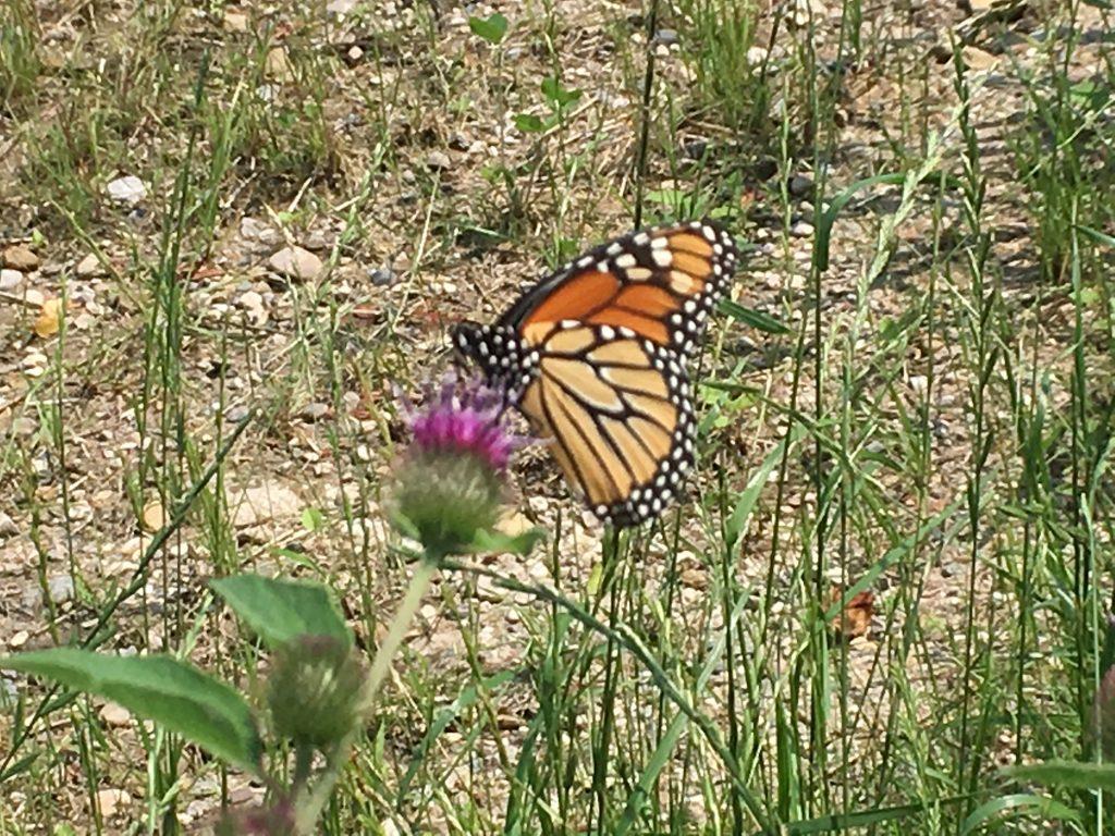 Monarch butterfly migration texasbutterflyranch monarch buycottarizona