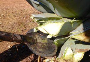 Fleshy Agave leaves
