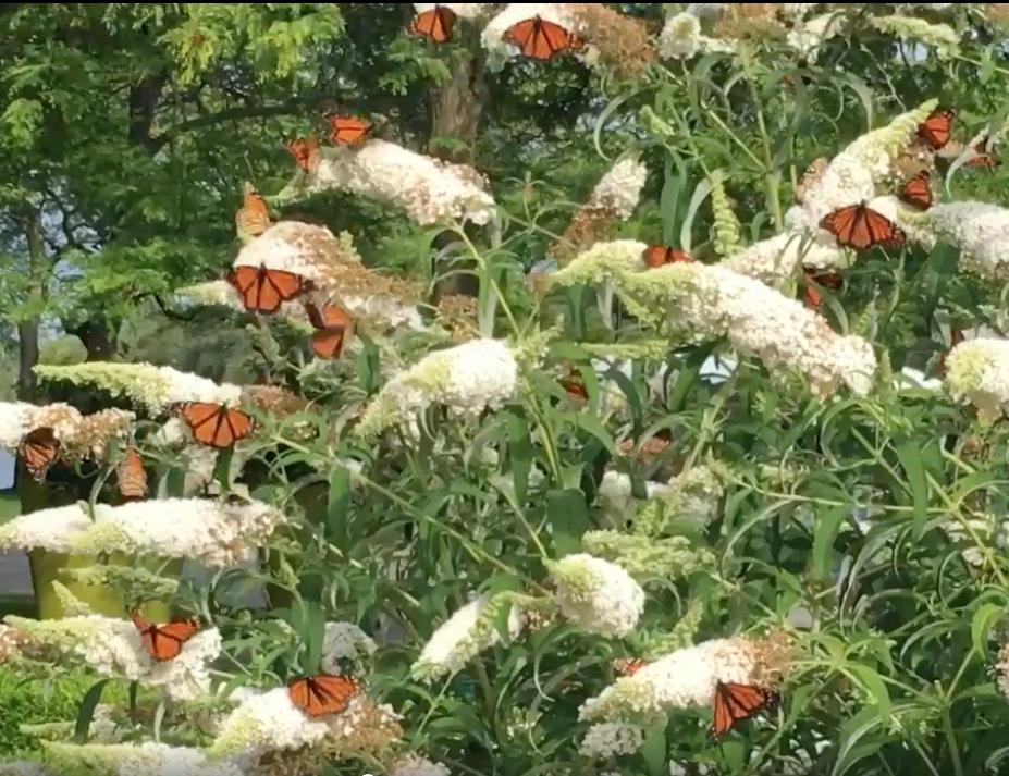 Monarchs Toronto buddleia