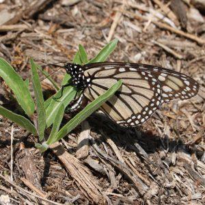 faded migrant monarch
