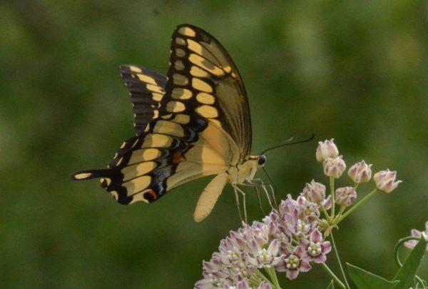 Giant Swallowtail on Zizotes milkweed