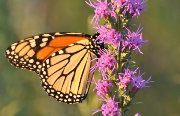 gayfeather and monarch