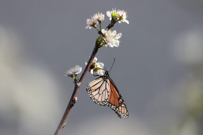 monarch on Mexican plum after the freeze